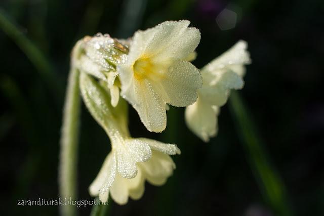 Sárga virág Pádison tavasszal harmatosan