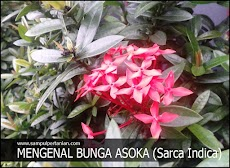 Bunga Asoka atau bunga Soka (Sarca Indica)