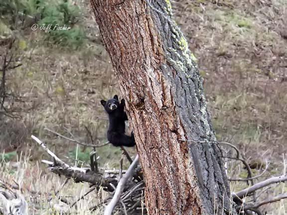 Black Bear COY