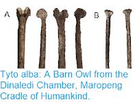 https://sciencythoughts.blogspot.com/2018/12/tyto-alba-barn-owl-from-dinaledi.html