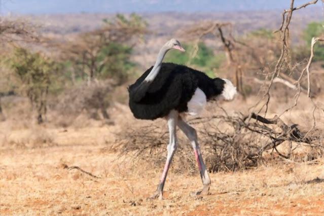 A Somali ostrich strolling