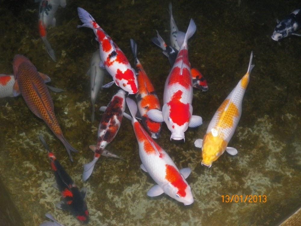 gambar foto ikan koi