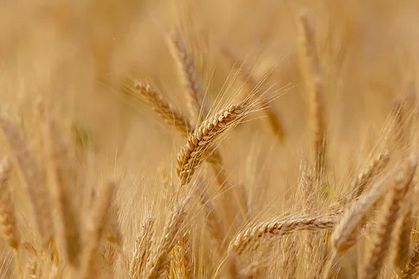 The Benefits of Whole Wheat for Diabetes