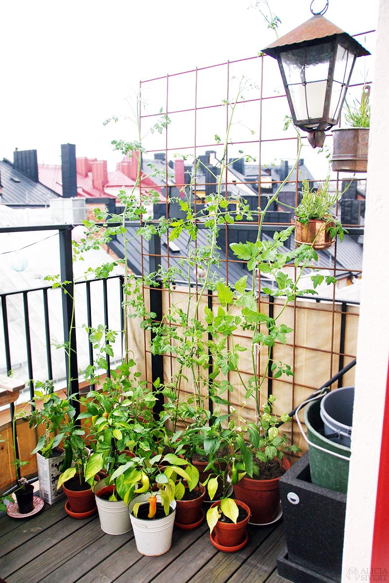 aliciasivert alicia sivert sivertsson odla på balkong balkongodling odling trädgård inspiration inreda inredning kruka krukor det norske hageselskap hage på balkongen avhärda avhärdning tomat tomater tomatplantor chili paprika