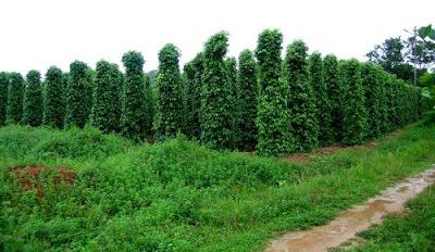 Vườn tiêu Ngọc Châu