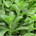 Αυτό το βότανο αναστέλλει την επιθυμία για κάπνισμα