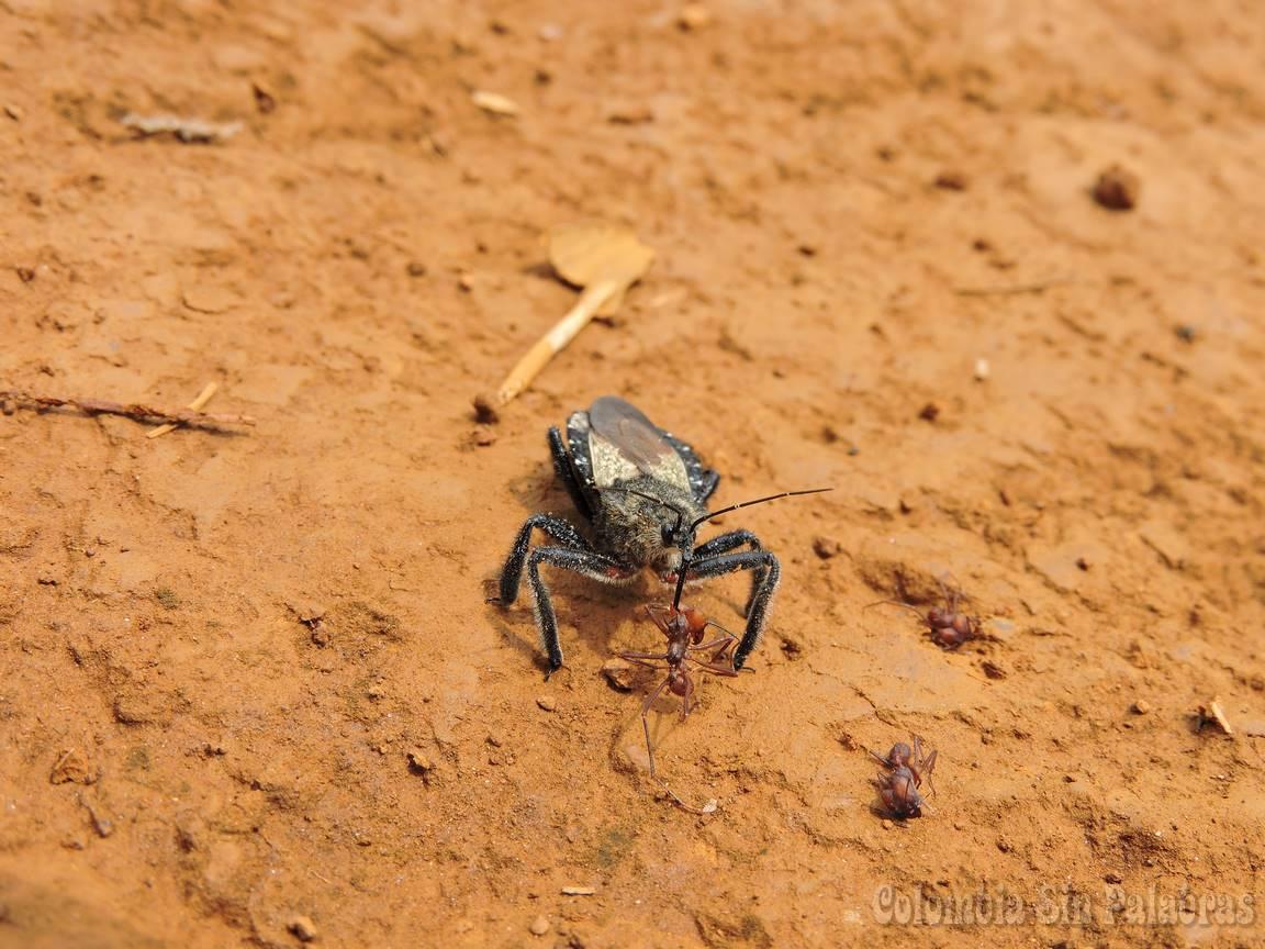 insecto atacando a hormigas
