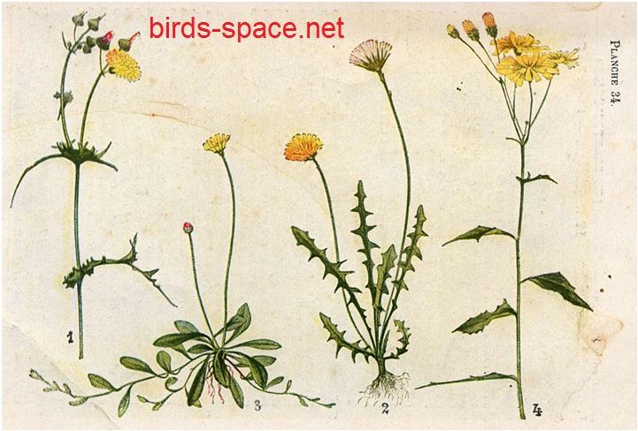 نبتة التيفاف و فوائدها للطائر