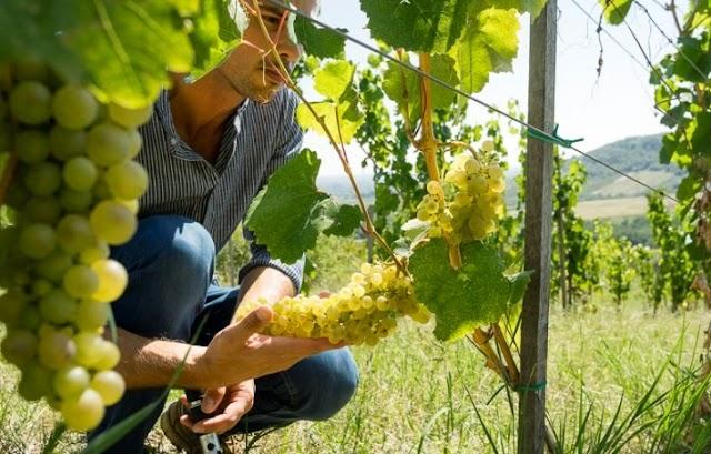 Közösen készítik el az Összetartozás borát a Kárpát-medence magyar borászai