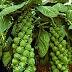 Brüksel lahanası nasıl yetiştirilir?