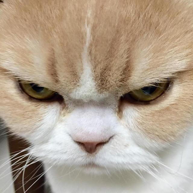 Cô mèo cáu kỉnh với gương mặt như đang dỗi cả thế giới