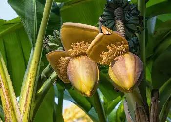 Benifit of Banana