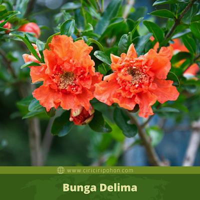 Bunga Delima
