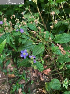 Espécie de herbácea com flor azul