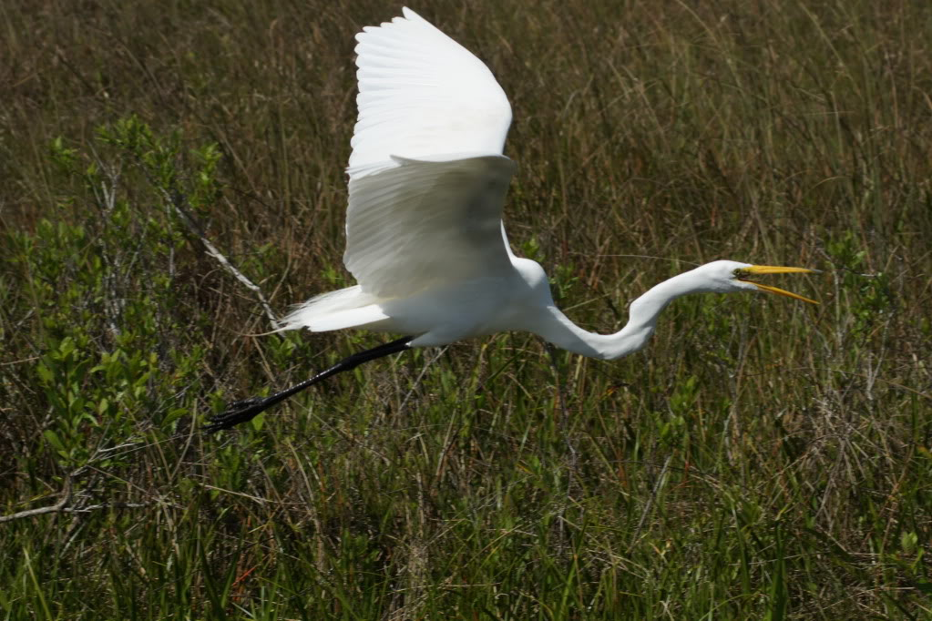 Picture of a egret at flying.