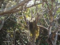 A bird's nest? - Mount Taranaki trail, New Zealand