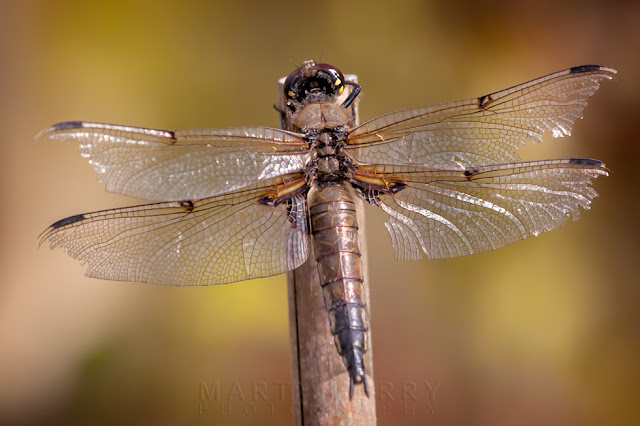 A weathered old four spotted chaser rests on a cane at Ouse Fens Nature Reserve