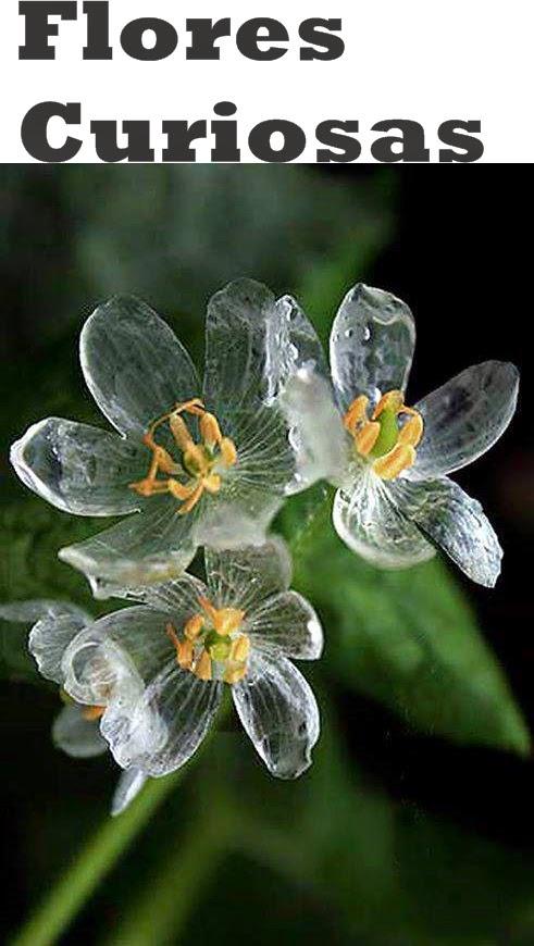 flor que fica transparente