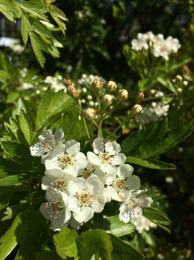 My-shopping-trip-to-Lidl-white-hawthorn-flowers