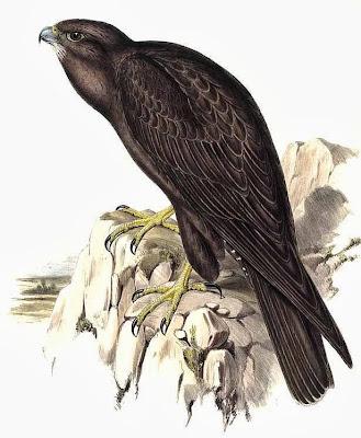Halcón negro grande Falco subniger