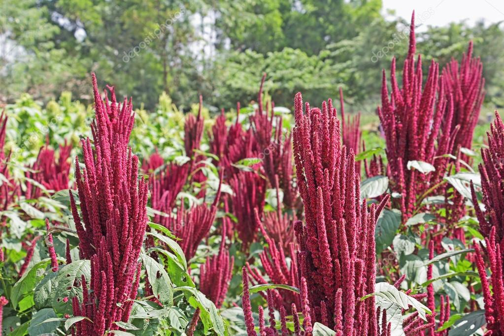 amaranth farming in india