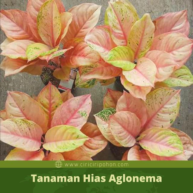 Ciri Ciri Pohon Tanaman Hias Aglonema