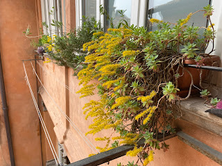 Sedum palmeri in a windowsill flower box in Bergamo, Italy.