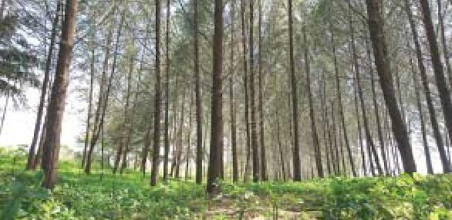 Rindangnya hutan pinus Pantai Kata, Kota Pariaman