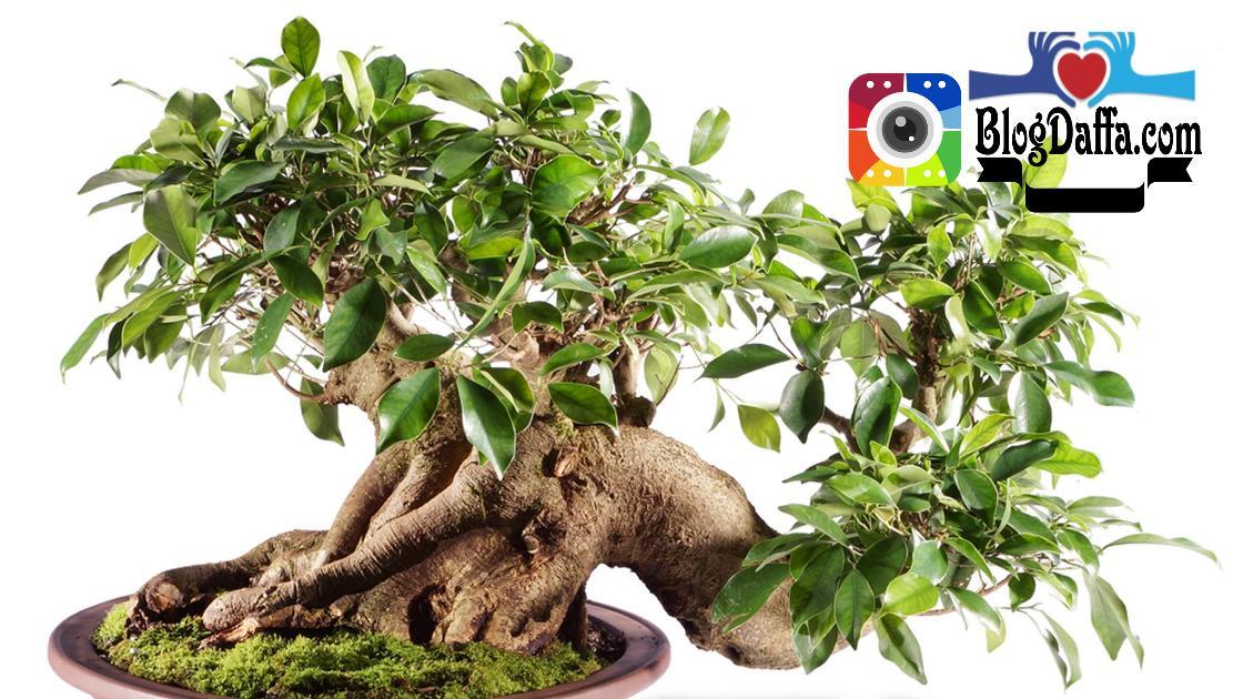 jenis bonsai beringin Ficus Retusa