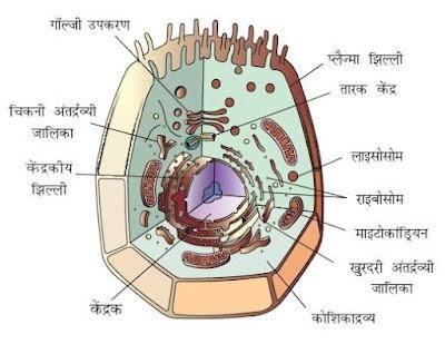 कोशिका के मुख्य तीन भाग - कोशिका झिल्ली, कोशिका द्रव्य और केन्द्रक