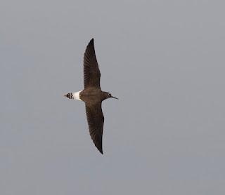 Green Sandpiper in flight