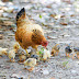 Eleven Golden Life Lessons From A Hen (Expanded)