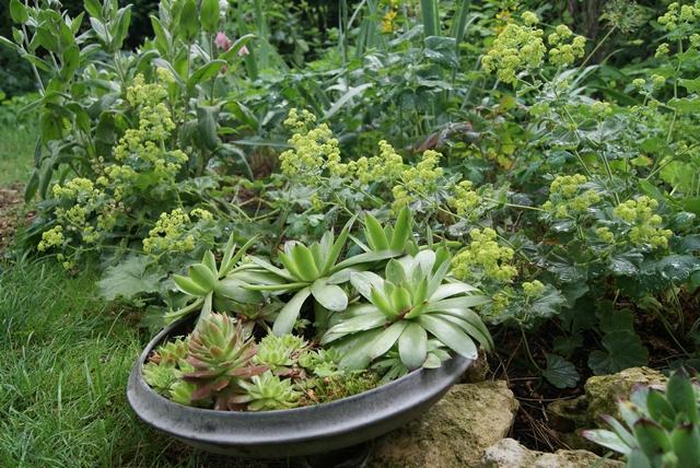 Semperviven in Topfdeckel gepflanzt