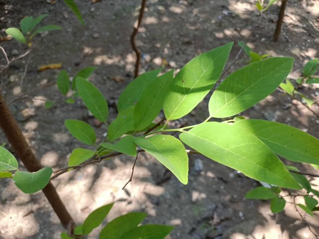 daun srikaya