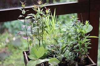 カゴに入った山野草盆栽用のポット苗