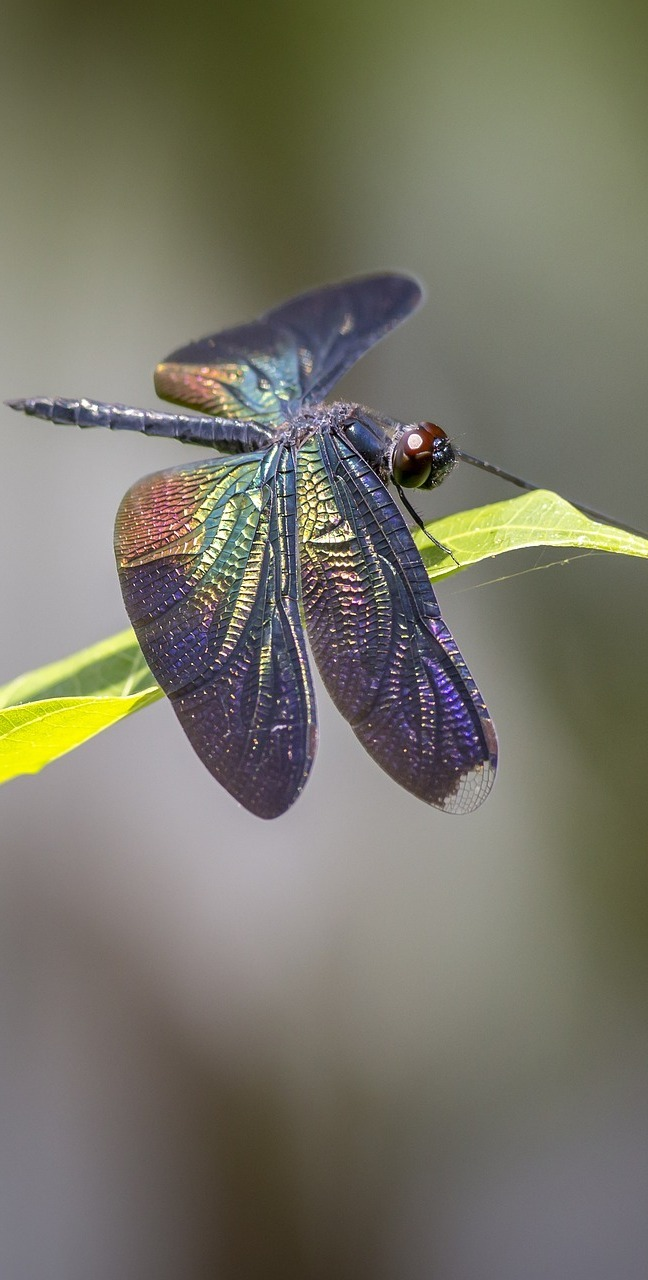 Greater-blue-wing.