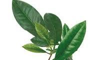 Obat asam urat tradisional dari daun sirsak