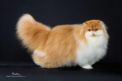 Cara Mencukur dan merapihkan Rambut Kucing Yang Baik Dan Benar
