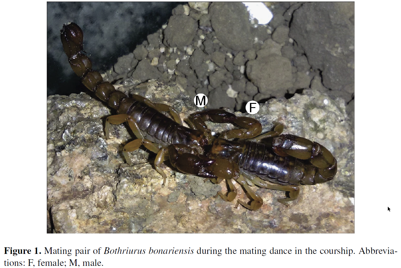 The Scorpion Files Newsblog: Mating in scorpions: Better