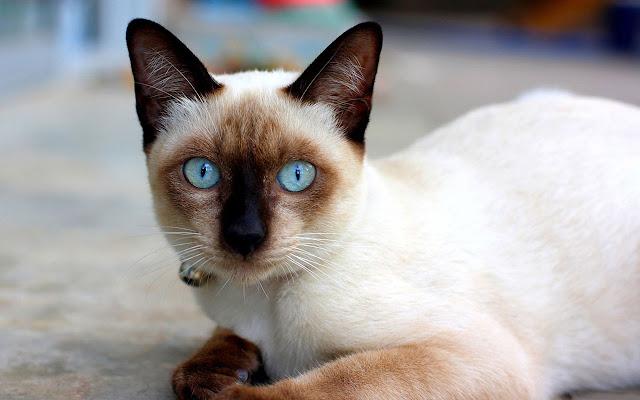 jenis-kucing-di-dunia-terpopuler