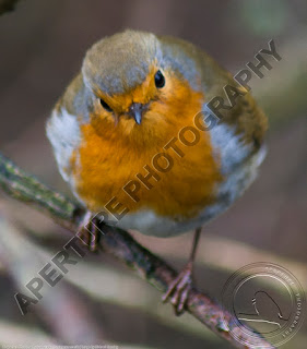 Image of a robin