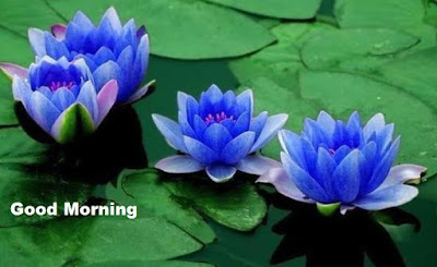 Good morning images with flowers - Blue Lotus Images Wallpapers