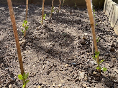 Small sweet pea seedlings planted against canes in vegetable patch