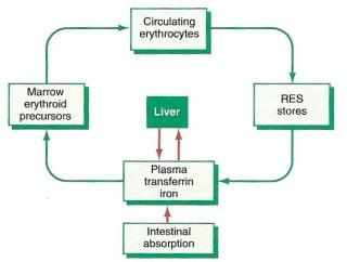 Distribusi zat besi dalam tubuh
