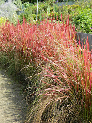 Japanese Blood Grass (Imperata cylindrica) at the Toronto Botanical Garden by garden muses-not another Toronto gardening blog