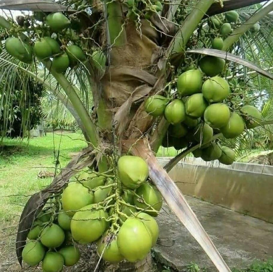 bibit kelapa entok Sungai Penuh
