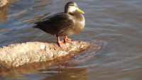 American black duck, Charlottetown Harbour by Carriage House, PEI - by Denise Motard, Dec. 24, 2014