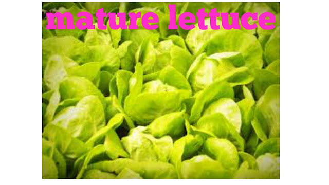 Mature lettuce plants