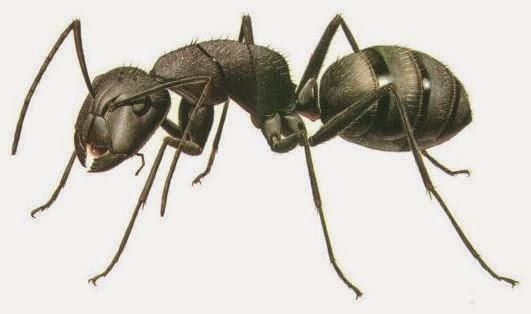 Gambar Semut Dunia Binatang