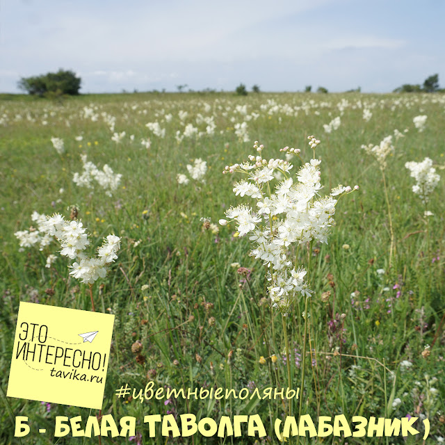 Цветы лабазника, Крым